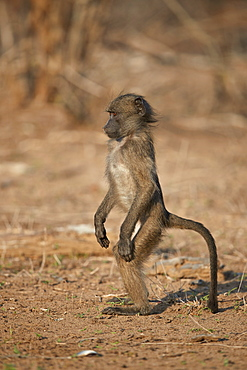 Chacma baboon (Papio ursinus) juvenile standing, Kruger National Park, South Africa, Africa