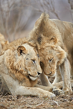 Two lions (Panthera leo) greeting each other, Kruger National Park, South Africa, Africa