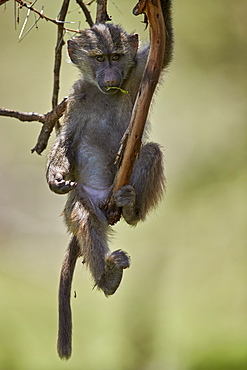 Juvenile olive baboon (Papio cynocephalus anubis) in a tree, Ngorongoro Crater, Tanzania, East Africa, Africa