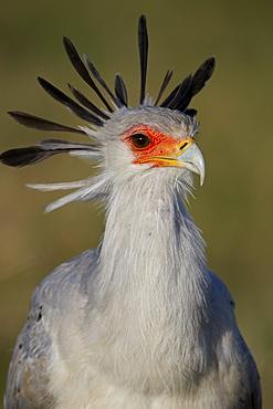 Secretarybird (Sagittarius serpentarius), Ngorongoro Crater, Tanzania, East Africa, Africa