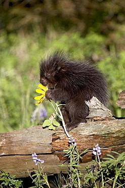 Baby porcupine (Erethizon dorsatum) in captivity, Animals of Montana, Bozeman, Montana, United States of America, North America