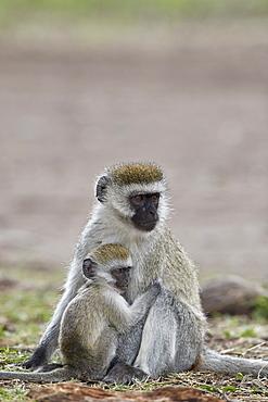 Vervet monkey (Chlorocebus aethiops) nursing, Ngorongoro Crater, Tanzania, East Africa, Africa