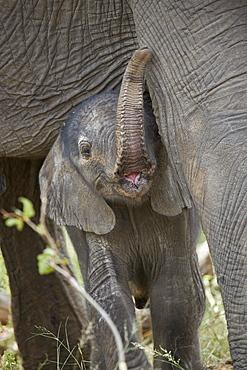 Days-old African Elephant (Loxodonta africana) calf, Kruger National Park, South Africa, Africa