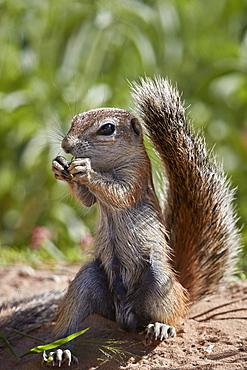 Cape ground squirrel (Xerus inauris), juvenile, Kgalagadi Transfrontier Park, South Africa, Africa