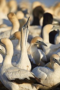 Cape Gannet (Morus capensis) displaying, Bird Island, Lambert's Bay, South Africa, Africa