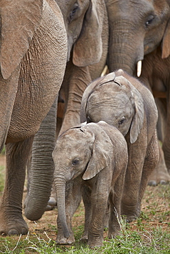 Young African Elephant (Loxodonta africana), Addo Elephant National Park, South Africa, Africa