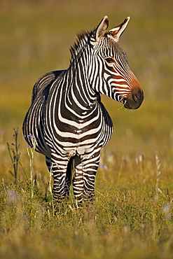 Cape Mountain Zebra (Equus zebra zebra), pregnant female, Mountain Zebra National Park, South Africa, Africa