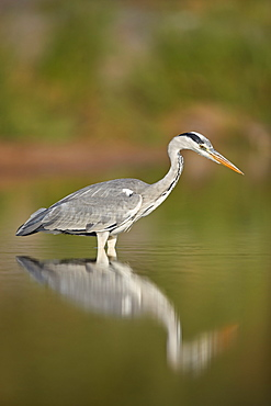 Gray Heron (Grey Heron) (Ardea cinerea), Kruger National Park, South Africa, Africa