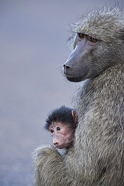 Chacma Baboon (Papio ursinus) mother and infant, Kruger National Park, South Africa, Africa