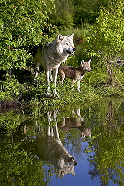 Gray wolf (Canis lupus) adult and pup, in captivity, Sandstone, Minnesota, United States of America, North America