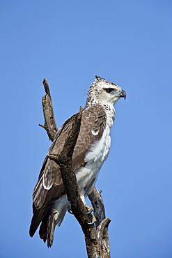 Martial Eagle (Polemaetus bellicosus), juvenile, Kruger National Park, South Africa, Africa