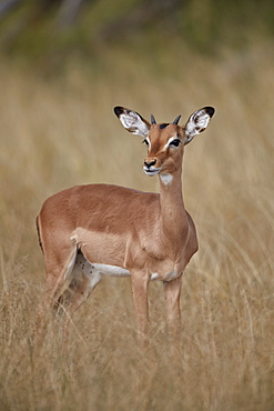 Impala (Aepyceros melampus), juvenile male, Kruger National Park, South Africa, Africa