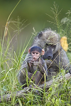 Chacma Baboon (Papio ursinus) infant, Kruger National Park, South Africa, Africa