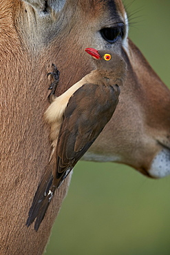 Red-billed Oxpecker (Buphagus erythrorhynchus) on an impala, Kruger National Park, South Africa, Africa