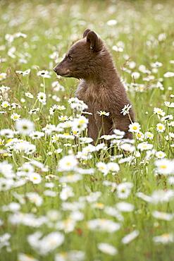 Black bear (Ursus americanus) cub among oxeye daisy, in captivity, Sandstone, Minnesota, United States of America, North America