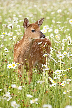 Whitetail deer (Odocoileus virginianus) fawn among oxeye daisy, in captivity, Sandstone, Minnesota, United States of America, North America