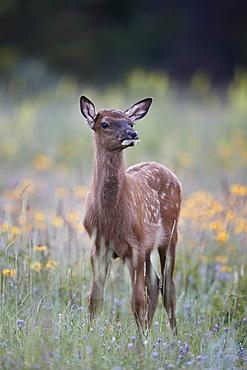 Elk (Cervus canadensis) calf among wildflowers, Jasper National Park, Alberta, Canada, North America