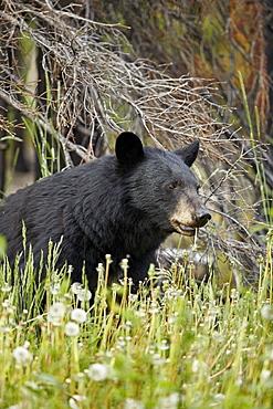 Black Bear (Ursus americanus) eating common dandelion (Taraxacum officinale), Jasper National Park, Alberta, Canada, North America