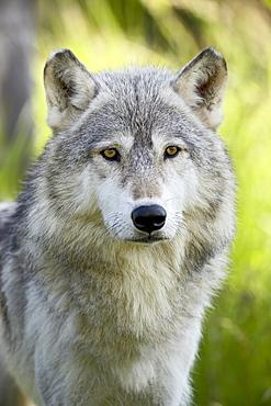 Gray wolf (Canis lupus), in captivity, Sandstone, Minnesota, United States of America, North America