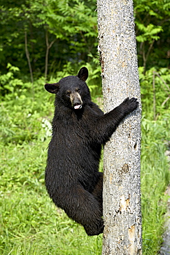 Black bear (Ursus americanus) climbing a tree, in captivity, Sandstone, Minnesota, United States of America, North America