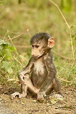 Infant olive baboon (Papio cynocephalus anubis), Lake Nakuru National Park, Kenya, East Africa, Africa