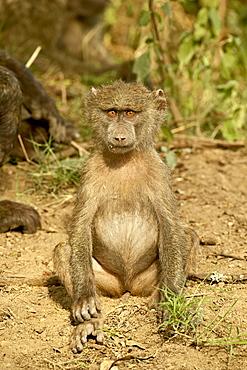 Young olive baboon (Papio cynocephalus anubis), Lake Nakuru National Park, Kenya, East Africa, Africa