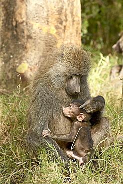 Infant olive baboon (Papio cynocephalus anubis) nursing, Lake Nakuru National Park, Kenya, East Africa, Africa