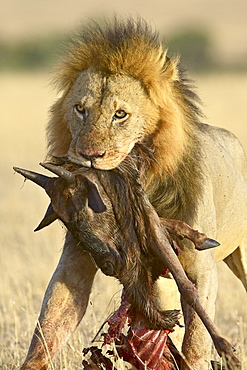 Lion (Panthera leo) carrying a blue wildebeest (brindled gnu) (Connochaetes taurinus) carcass, Masai Mara National Reserve, Kenya, East Africa, Africa