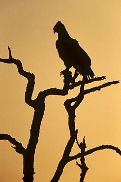 Silhouette of martial eagle (Polemaetus bellicosus), Botswana, Africa