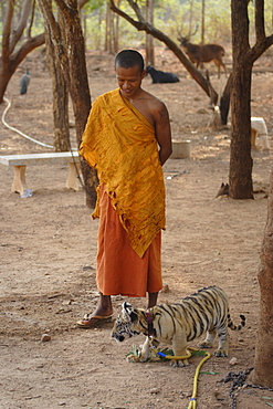 Buddhist monk watches over a tiger cub at Tiger Temple, Kanchanaburi, Thailand, Southeast Asia, Asia