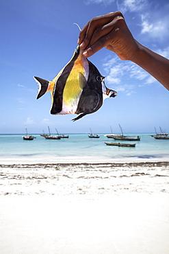 A tropical fish on Nungwi beach, Zanzibar, Tanzania, East Africa, Africa