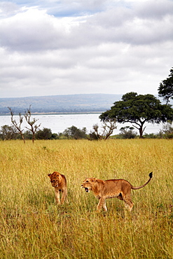 Young lions in Murchison National Park, Uganda, East Africa, Africa
