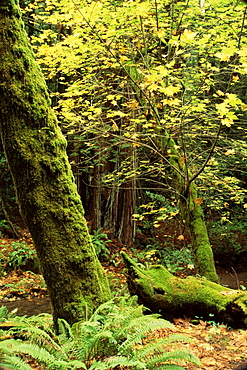 Big leaf maple, Cathedral Grove, Muir Woods National Monument, California, United States of America, North America