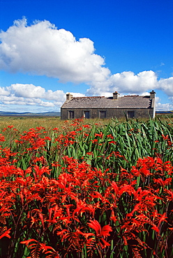 Montbretia flowers and old cottage, Blacksod Bay, County Mayo, Connacht, Republic of Ireland, Europe - 777-595