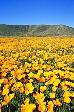 California poppy, East County area, San Diego, California, United States of America, North America