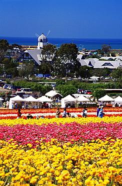 Flower fields, Carlsbad Ranch, North County San Diego, California, United States of America, North America