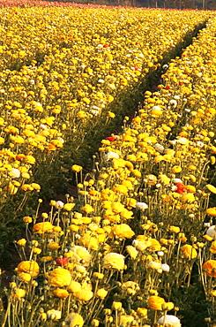 Flower fields, Carlsbad, San Diego County, California, United States of America, North America