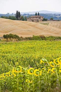 Field of sunflowers in the Tuscan landscape, Tuscany, Italy, Europe