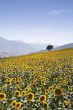 Sunflowers, near Ronda, Andalucia, Spain, Europe