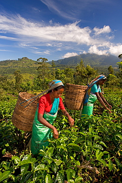 Women picking tea on Tea Plantation, Nuwara Eliya, Hill Country, Sri Lanka, Asia