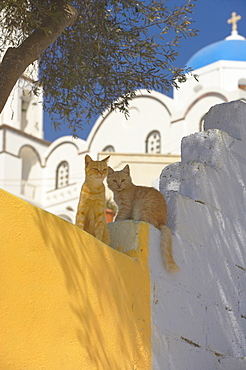 Cats in Akrotiri, Santorini, Cyclades, Greek Islands, Greece, Europe