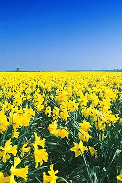 Flowers and windmill in Alkmaar, Holland, Europe