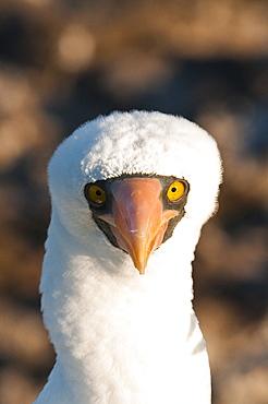 Nazca Booby (Sula dactylatra), Suarez Point, Isla Espanola (Hood Island), Galapagos Islands, Ecuador, South America