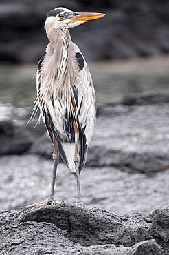 Great blue heron, Espinosa Point, Isla Fernandina (Fernandina Island), Galapagos Islands, Ecuador, South America