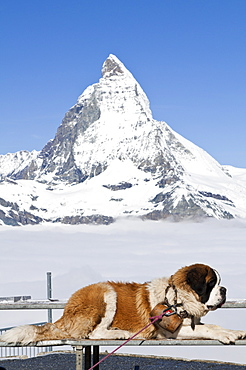 St. Bernard dog and Matterhorn from atop Gornergrat, Switzerland, Europe