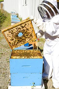 Bee keeping at Arlo's Honey Farm, Kelowna, British Columbia, Canada, North America