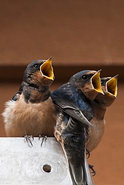 Immature barn swallow (Hirundo rustica), Great Bear Rainforest, British Columbia Canada, North America