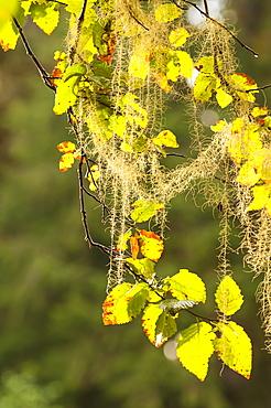 Moss covered aspen tree in Great Bear Rainforest, British Columbia, Canada, North America