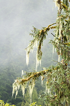 Moss covered pine tree in Great Bear Rainforest, British Columbia, Canada, North America
