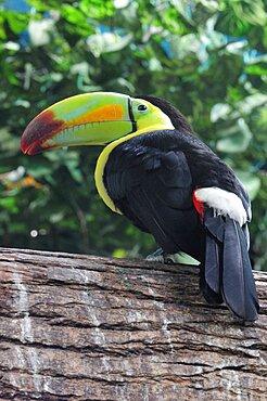 Mexico, Veracruz, Toucan native to Veracruz with bright multi coloured bill perched on branch.
